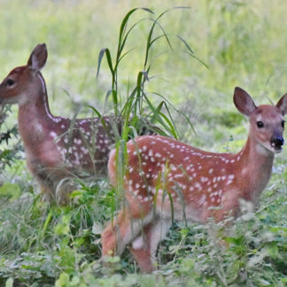 Orphaned fawns