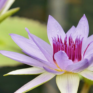 The Water Lily