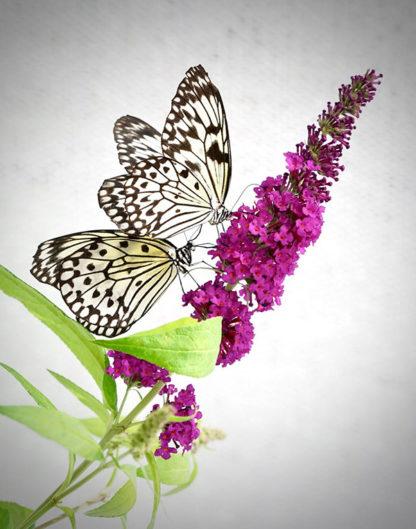 Paper Kite on Butterfly Bush